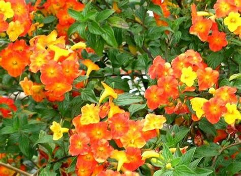 dove comprare nani da giardino streptosolen arbusto sempreverde pollicegreen