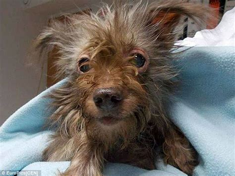 yorkie shivering abandoned for being after its owners let it