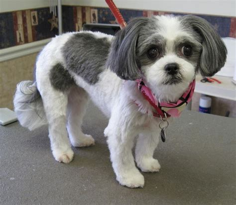 pictures of shih tzu haircuts 17 best images about shih tzu haircuts on pinterest