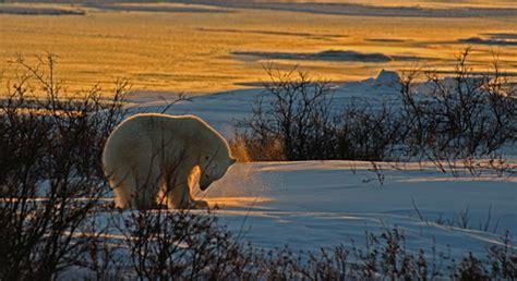 arctic national wildlife refuge defenders  wildlife