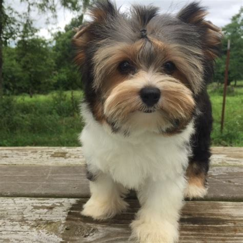 yorkies morkies and more contented puppies paradise yorkie maltese morkie puppies for sale