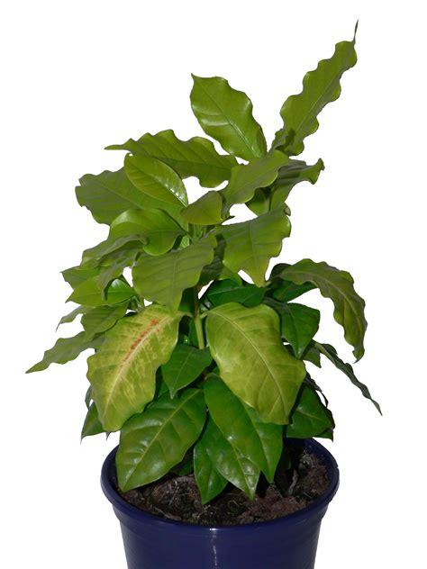 Als Zimmerpflanze by Kaffeebaum