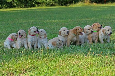 Lindsays Puppy by Lindsay S Golden Puppies