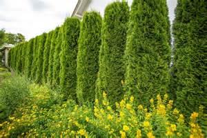garten und pflanzen immergr 252 ne pflanzen als sichtschutz meister meister