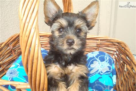 blue and gold yorkie puppies blue gold terrier yorkie puppy for sale near modesto california