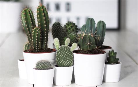 succulents that don t need light 8 super cute indoor plants to buy now sunshine coast