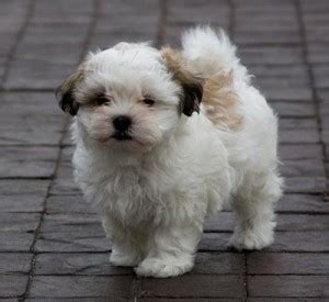 what does a shih tzu look like maltese x shih tzu designer dogs