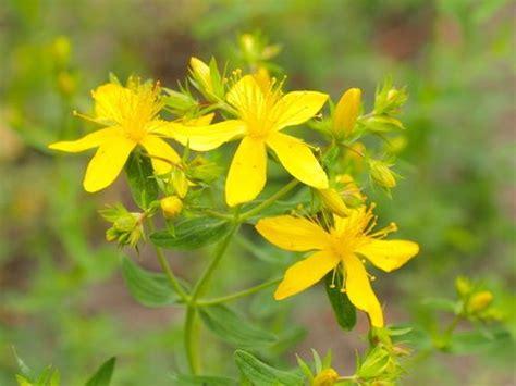 iperico fiore iperico propriet 224 uso controindicazioni cure naturali it