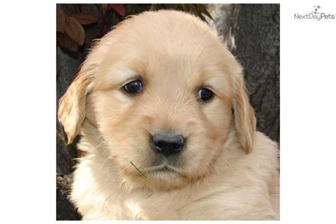 american golden retriever puppies meet honey a golden retriever puppy for sale for 800 all american golden