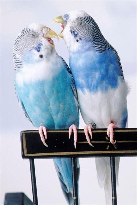 17 Best images about Budgie on Pinterest   Birds, Jokes