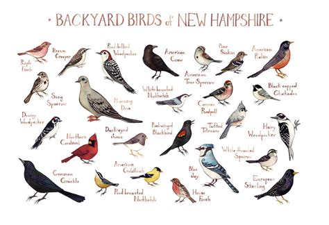 new hshire backyard birds field guide art print