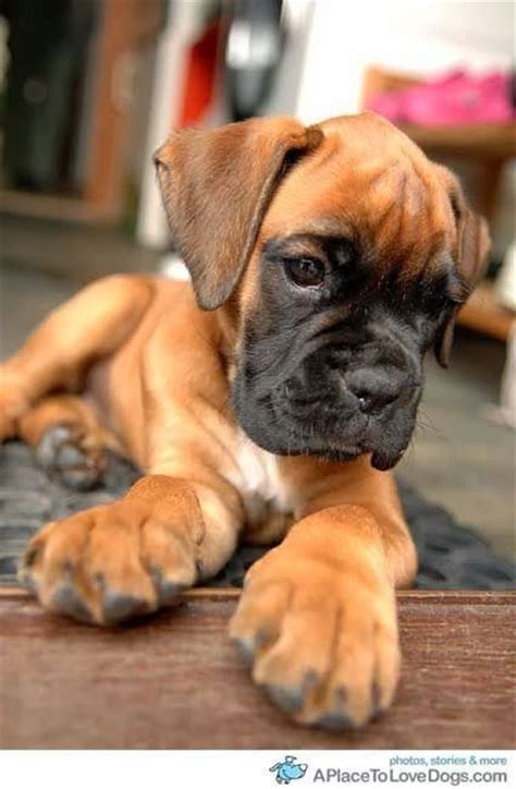 boxer puppies alabama boxer puppy what paws