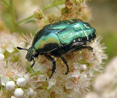 scarab symbolic meaning beetle amp scarab symbolism