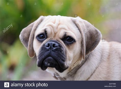 beagle and pug 6 month puggle beagle and pug crossbreed stock photo royalty free image