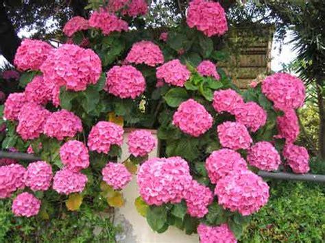 imagenes de hortencias blancas como cuidar las flores hortensias