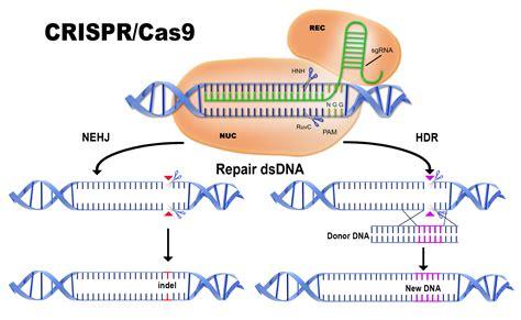 crispr cas designer genes getting crispr and crispr timeone