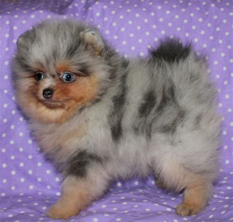 merle pomeranian puppies for sale blue merle pomeranian breeds picture