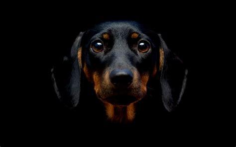 dog wallpapers free desktop wallpaper box black dog hd wallpaper wallpapers box
