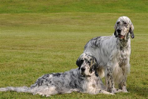 english setter started dogs for sale english setter puppies for sale from reputable dog breeders