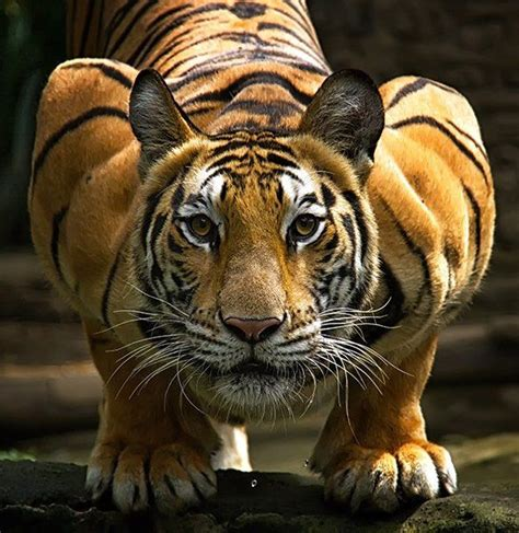Couching Tiger by Crouching Tiger Animal Portraits Tigers