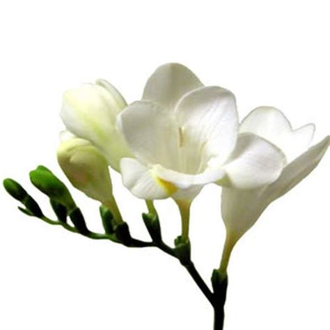 Large Glass Vases Wholesale Freesia White Wholesale Blooms By The Box