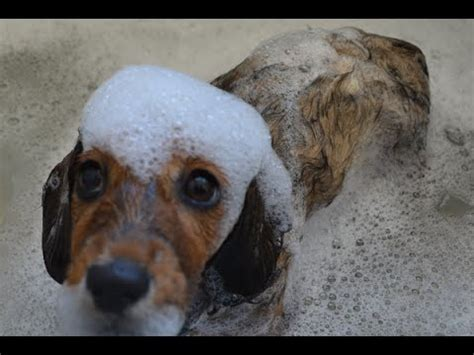 how early can you bathe a puppy adorable dachshund pup takes a bath and i can t stop