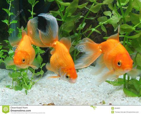 Rak Aqua Gelas Golden Sunkist 3 goldfische stockfotos bild 264663