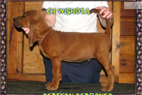 redbone puppies for sale redbone coonhound dogs puppies for sale breeds picture