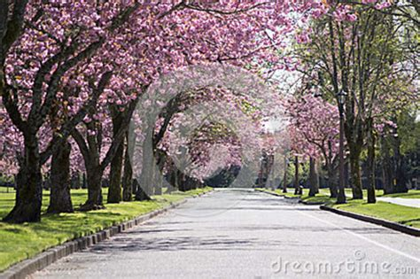 pink blossom tree road stock image image  asphalt