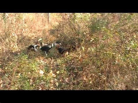 rabbit dogs net beagle race1 http rabbitdogs net