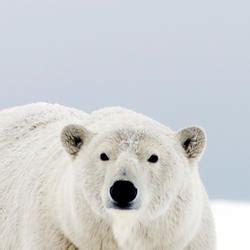 polar bear | species | wwf