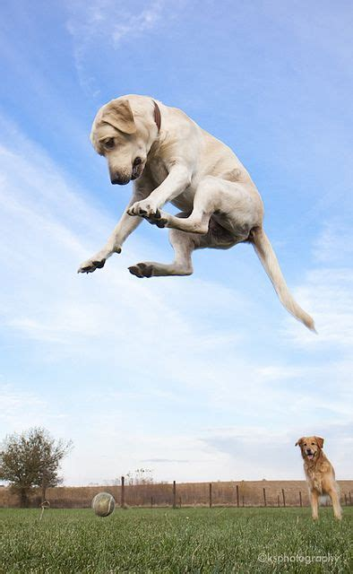 flying dogs labradors labs and dogs on