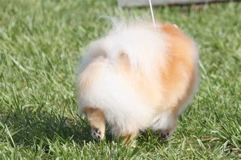 information on pomeranian puppies teacup pomeranian puppies breed info breeds picture