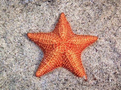 Maxi Sceva Syari 12 surprising facts about starfish