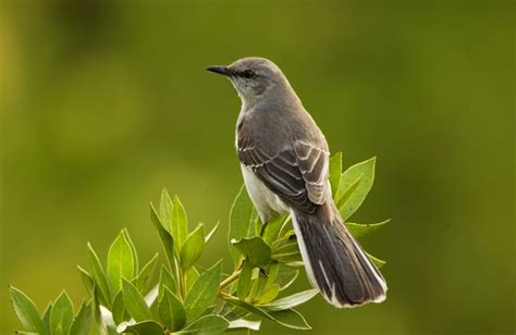 mimidae mockingbirds thrashers catbirds photo gallery