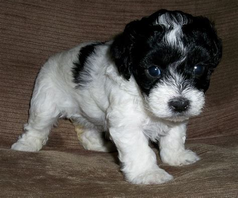 lhasapoo puppies lhasapoo puppies for sale poodle x lhasa apso coalville leicestershire