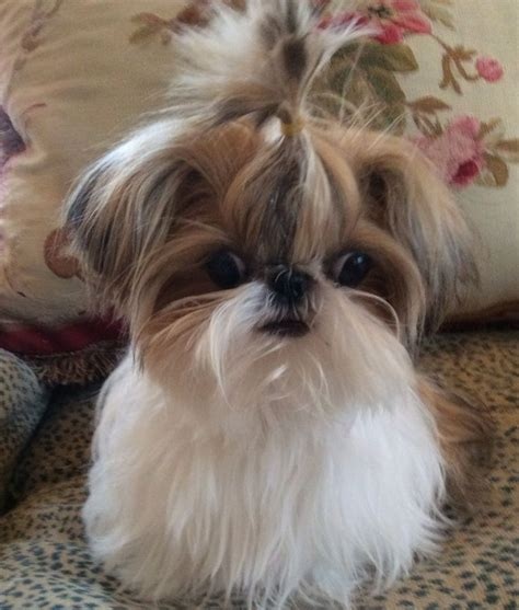 baby shih tzu names baby shih tzu so omg it s so fluffy names pony tails