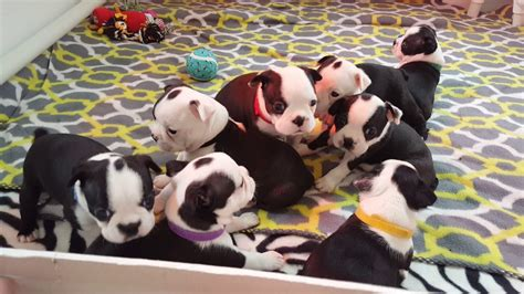 boston terrier puppies massachusetts boston terrier puppies for sale watertown ma 267921