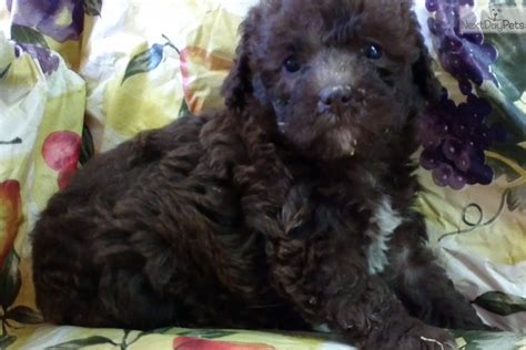 pounds near me goldendoodle puppy for sale near baltimore maryland e5140305 1fe1