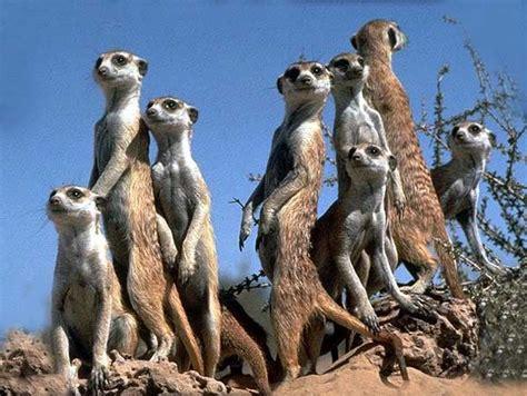 si鑒e du s駭at animais selvagens o suricata