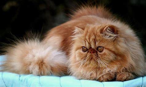 fotos de gatos gatos angora gemelos jpg pictures to pin on pinterest gato persa informaci 243 n qu 233 come d 243 nde vive c 243 mo nace