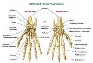 Human anatomy wrist anatomy bones