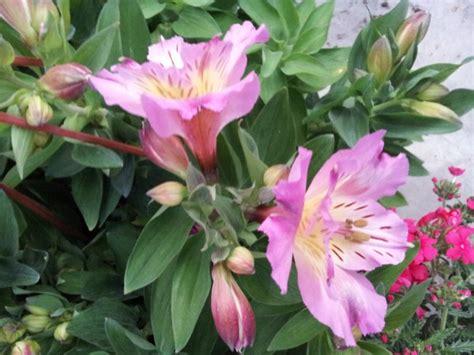 alstroemeria fiore alstroemeria coltivazione