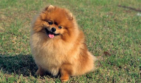 where do pomeranians originate from small dogs do you a favorite cuteness overflow