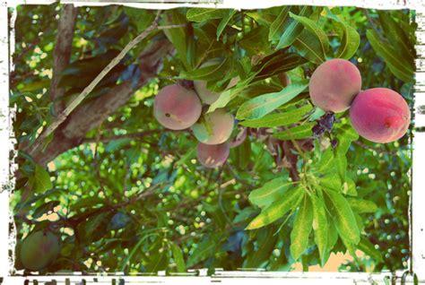 mango rocks mango trees and random acts of island kindness women who