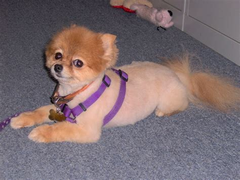pomeranian boo cut pomeranian haircut styles pictures newhairstylesformen2014