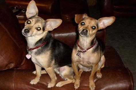 chipin puppies chipin miniature pinscher chihuahua mix info pictures puppies characteristics