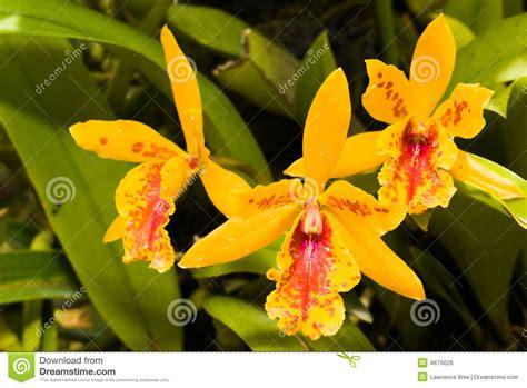Läuse Auf Orchideen 4233 by Gouden Orchidee Stock Foto Afbeelding Bestaande Uit Roze