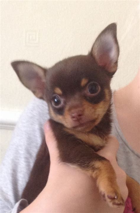chocolate chihuahua puppies stunning chocolate chihuahua puppy for sale stockport greater manchester pets4homes