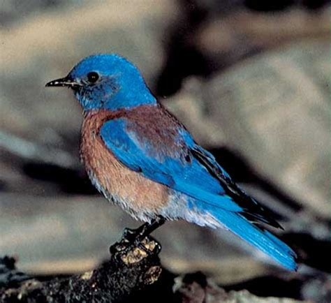 western bluebird kids encyclopedia children s